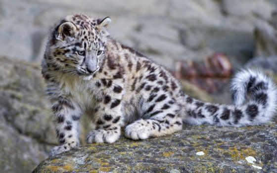 леопард, снег, ирбис, детёныш, branch,
