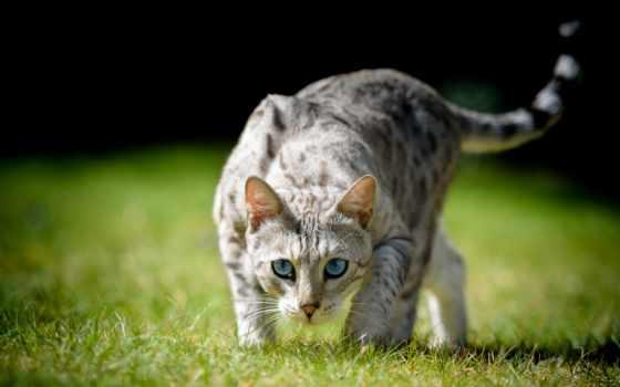 трава, смотреть, боке, свет, голубые, кот, взгляд,