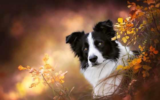 собаки, морда, собака, осень, portrait,
