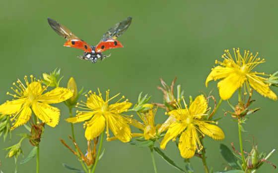 коровка, божья, полет, коровки, макро, ladybug, одуванчик, божьей, насекомые,