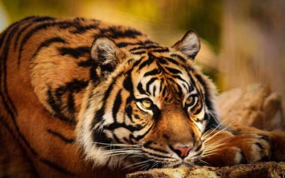 тигр, картинка, смотреть, лапа, portrait, глаза, wild, поза, бенгальский, кот, ложь