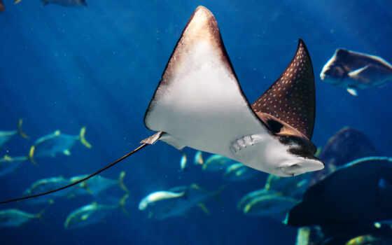 море, fish, life, ocean, рыба, underwater, manta, birostris, voda, океан, more
