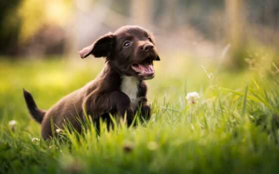 собака, щенок, трава, spaniel, природа, cute, cheerful, animal, little