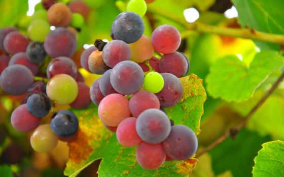 виноград,природа,листья,грозди,