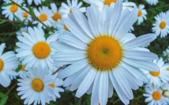 ромашки, солнышко, cvety, бесплатные, красивые, makro, цветов, фотографий, февр, ekran, пост,