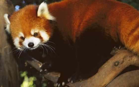 панда, зооклубе, малая