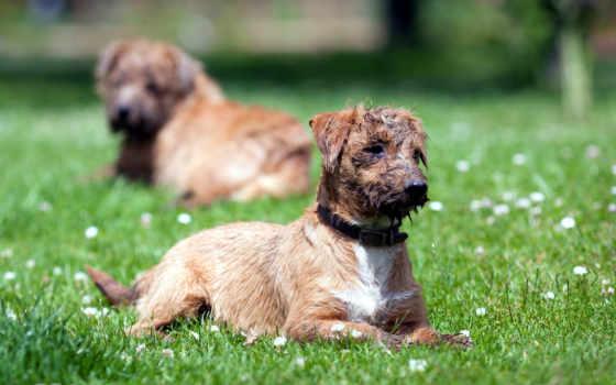 собака, summer, поле