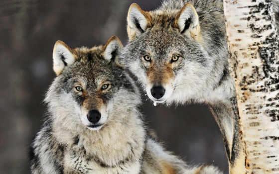 красивые, волки, очень, волков, волк, хищников, dreempics, лесу, животных, диких,