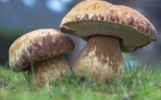 грибы, трава, лес, природа, mushroom, white, осень,