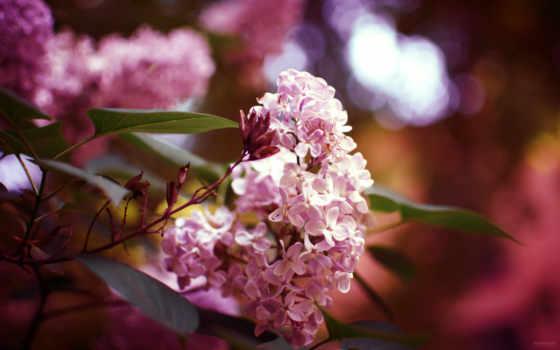 desktop, flowers, природа, tapety, cor, lilás,
