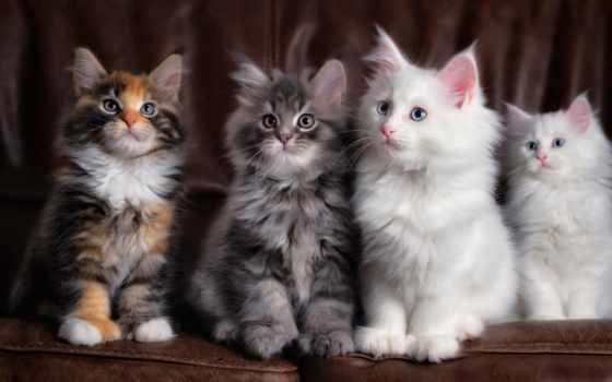 котята, пушистые, коты, кошки, pair, browse,