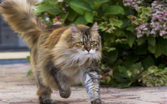 кот, кошки, cvety, пушистый, obrázky,