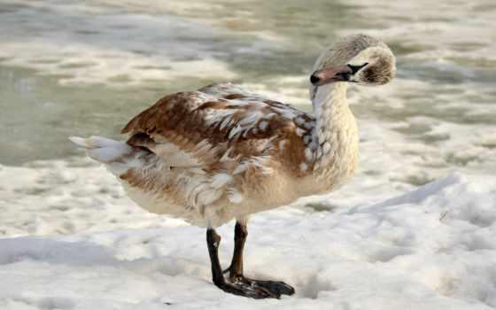 фотоподбоpкa, лебеди, swans