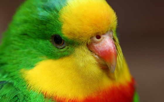 попугай, wavy, птица, попугаи, попугайчик, клюв, перья, love, yellow, желто,