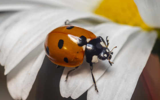 ladybug, цветы, coccinella, насекомое, red, жук, black, коровка, septempuncta, miraculous