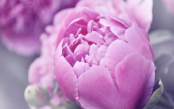 цветы, пионы, розовый