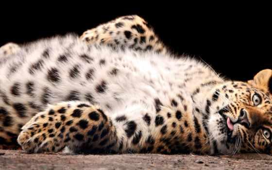 леопард, леопарды