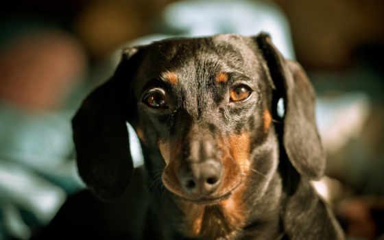 dachshund, собака, browse