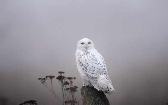 snowy, сова, cute