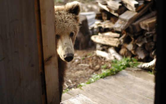 tapety, animals, znajdziesz, photos, pulpit, pictures, teddy, дрова,