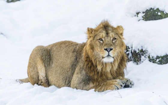 lion, снег, красивые