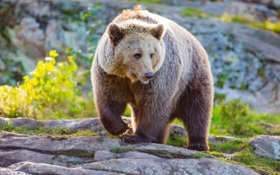 медведь, wild, серия, европа, спасение, канал, природа, hunting, save, хорватия