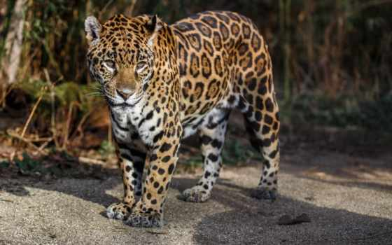 ягуар, кошка, животные, хищник, дикая, desktop, марта, пятна,