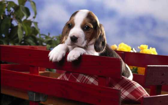beagle, puppies, порода