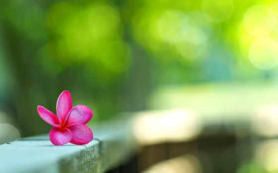 цветы, summer, cvety, красивые, природа, fonday, iphone, розовый, трава, how, роза,
