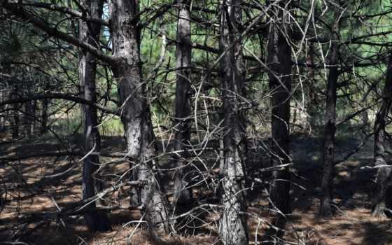 природа, красивые, лес, amazing, фотографий, заставки, pine, лесные, массивы,