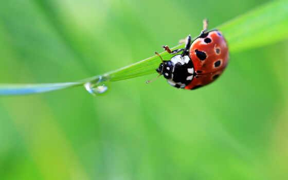 ladybug, животные