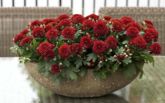 цветы, хризантемы, community
