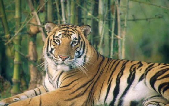 тигры, тигр, белый, только, подвид, tigris, индийский,