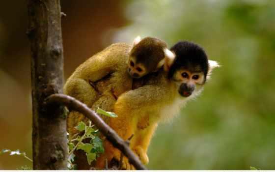 обезьяны, обезьяна, саймири