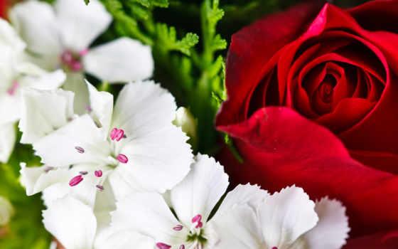 розы, белые, лепестки, роза, красная, макро, бутон, красные, белой, картинка, пестик,