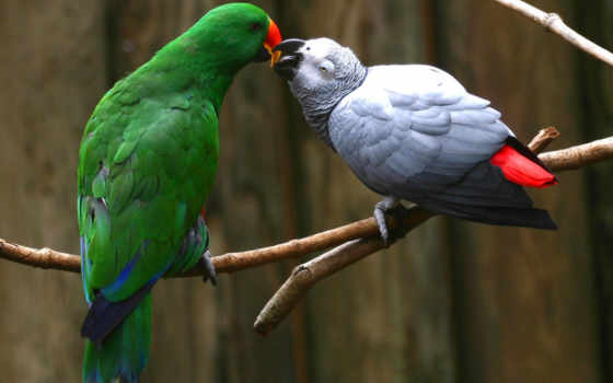 african, grey, попугай Фон № 122521 разрешение 1024x768