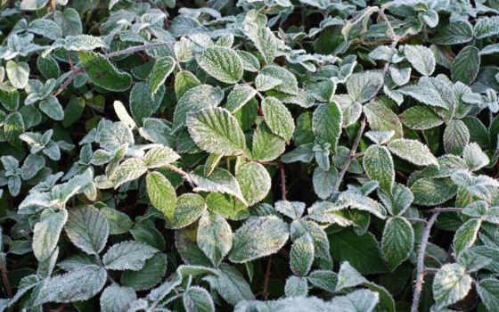 иней, растение, утро, forestor, cvety, утренние, свернуть, первые, назад, white,