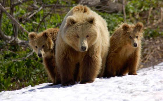 медведь, медведи, мишка, лапы, красивые,