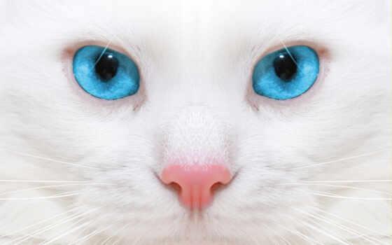 кот, глаз, blue, white, котенок, красивый, биг