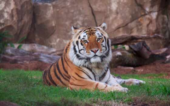 тигр, два, красивый, кот, wild, siberian, хищник, live, white, animal