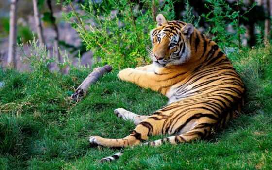 тигр, zoopark, display, шерхан, login, ekran, bengalskii, bolsherechenskii, dimension, share, devichii