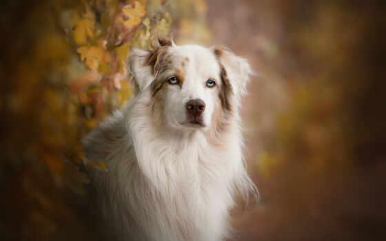 собака, порода, группа, млекопитающее, взгляд, wallpapermaniac, audrey, bellot, puy, vous