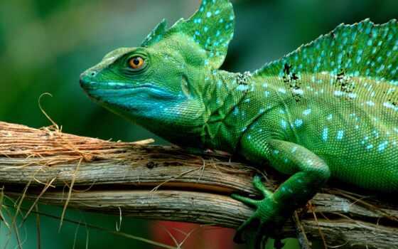 ящер, basilisk, basiliscus, christ, видов, красивый, jesus, зелёный, василиса