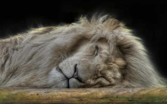 животные, лев, зверей