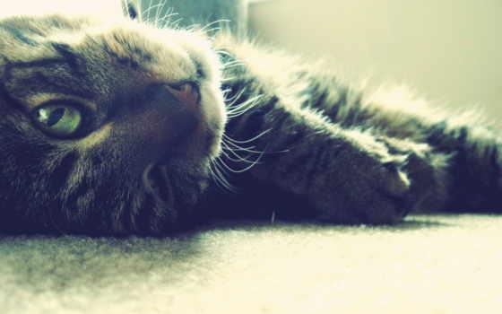 кот, мордочка, шерсть, усы, лапы, нос,