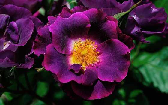фиолетовый, цветы, количество