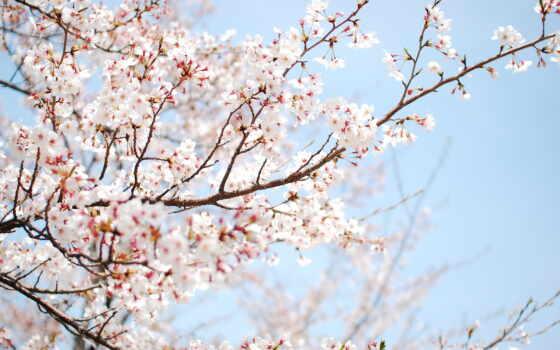 vesna, широкоформатные, цветение