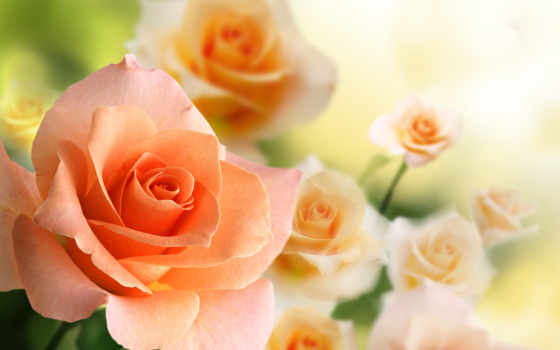 розы, разрешениях, разных, крупным, планом, чайные,