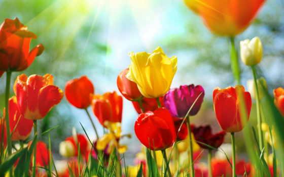 фотообои, cvety, тюльпаны
