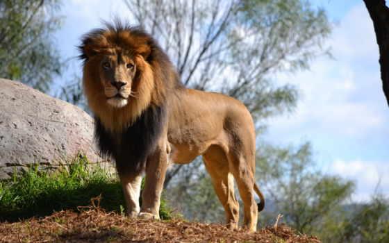 lion, lions, attack